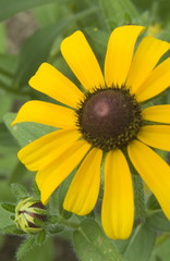 full blackeyed susan