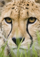 cheetah portrait head closeup