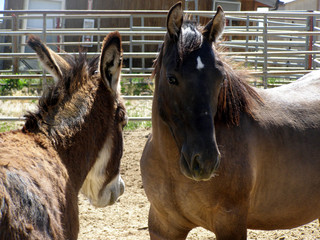 mustang and wild burro at blm holding center,utah