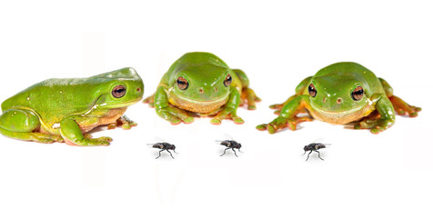 Tuinposter Kikker three frogs and flies