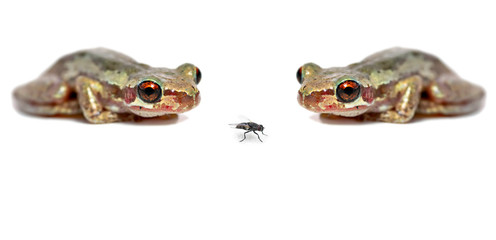 two frogs one fly