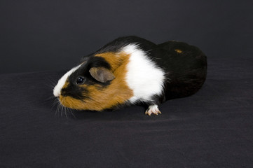 smooth haired guinea pig