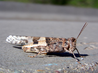 Grasshopper tempting fate by hanging out on the road