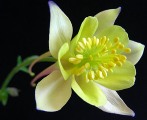State flower of Colorado, the Columbine