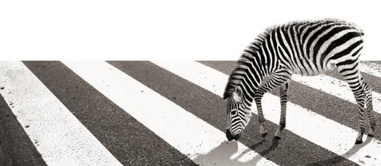 Zebra beim Herumstreifen