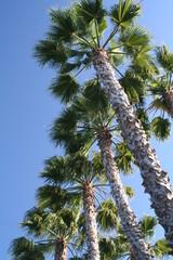 Coronado Trees