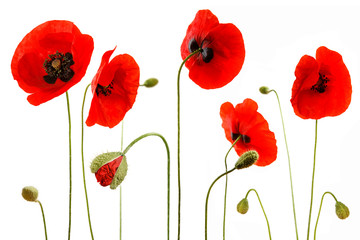 Printed kitchen splashbacks Poppy coquelicots detourés