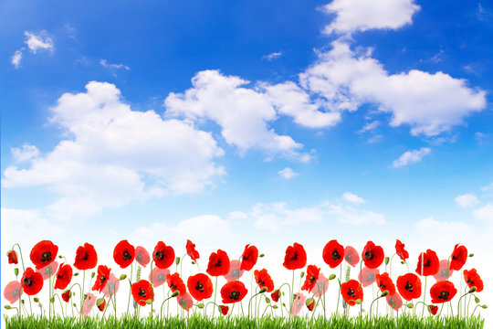 Isolated red poppy  flower  on white background