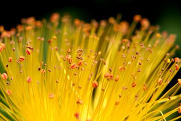 fleur de millepetuis