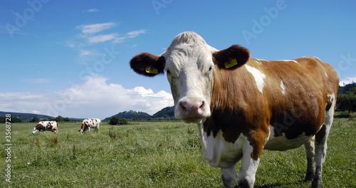 Wall mural Cows