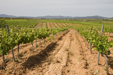 Vineyards in Montferri, Tarragona province, Catalonia, Spain