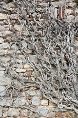 Ancient stone wall covered with dried roots