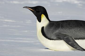 Gliding Antarctic penguin
