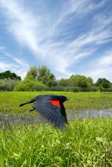 Red Wing Blackbird in Flight over Summer Pond