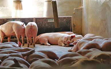 Zufriedenes Schwein
