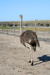Ostrich in the wild nature