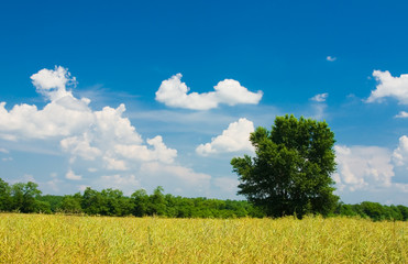 Field, trees and blue cloudy sky