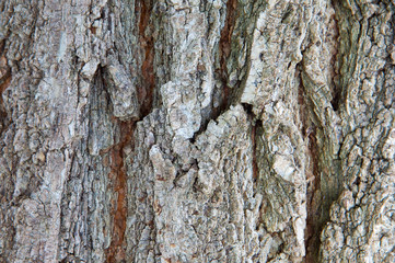 Wood texture (detail of the trunk of a tree)