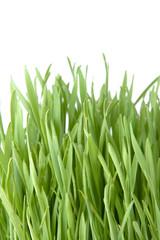 Cut grass on white background