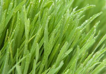 Cut grass close up