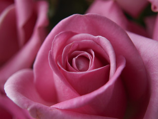 Bloom of Pink Rose