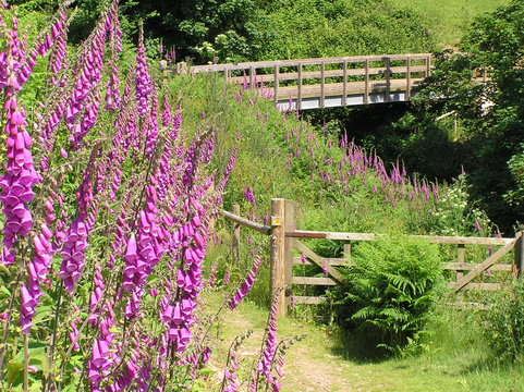 Foxgloves & bridge