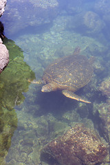 Green pacific sea turtle