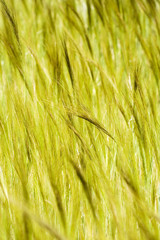 spikelets ready to be harvested mooving with the wind in spring
