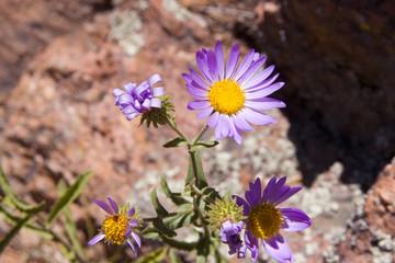 Lone Mountian Flower