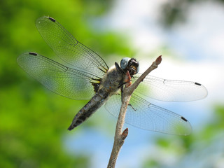 Insect dragonfly sits on  branch in afternoon