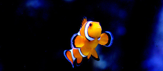 Striped Clownfish