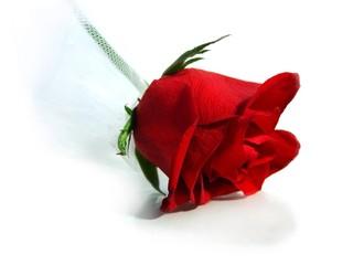 rose rouge et voile de mariée