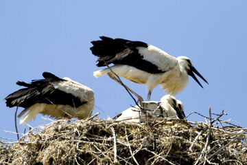 Storks in the nest (Ciconia ciconia)