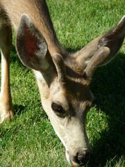 Juvenile buck mule deer nibbling on a green