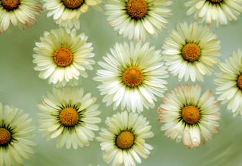 kleine gänseblümchen