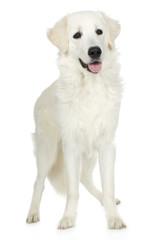 juvenile Labrador retriever cream