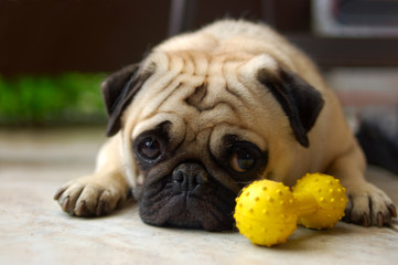 Pug laying near his toy looking slightly guilty