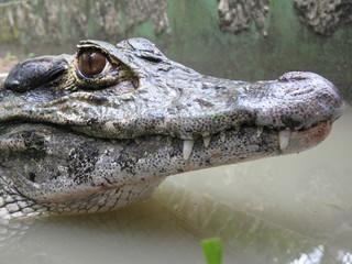 Printed roller blinds Crocodile Krokodil, Jacaré, Amazonas