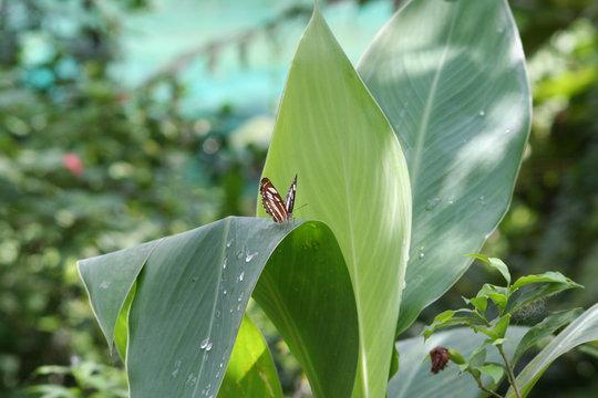 Schmetterling in Malaysia