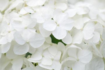 Zelfklevend Fotobehang Hydrangea White hydrangea blossoms as background