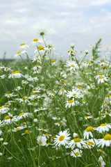Field of wild daisies - summer meadow