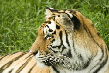 Amur Tiger (Panthera tigris altaica) looking to left of frame