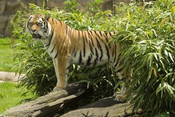Amur Tiger (Panthera tigris altaica) looking at viewer