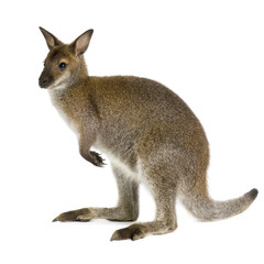 Photo sur Toile Kangaroo Wallaby in front of a white background