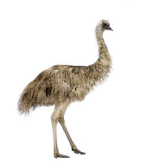 Emu in front of a white background