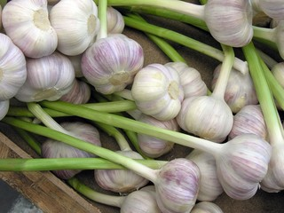 early garlic white bulbs