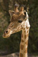 Head shot of Giraffe (giraffa camelopardalis reticulata)