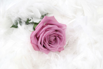 Pink rose with white background, taken closeup