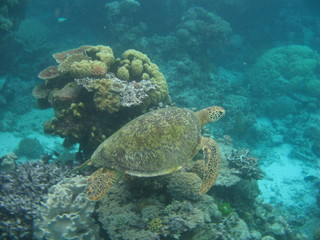 Green turtle swimming over reef