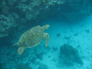 Green turtle swimming over reef 3